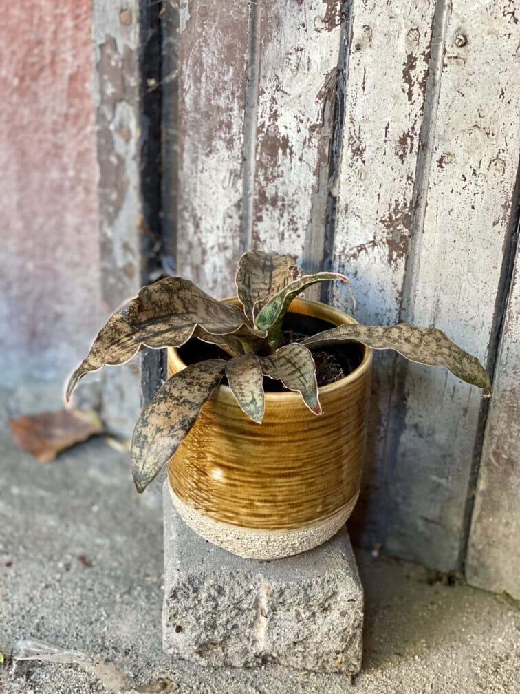 Zdjęcie rośliny Sansevieria kirkii Coppertone, ujęcie 2