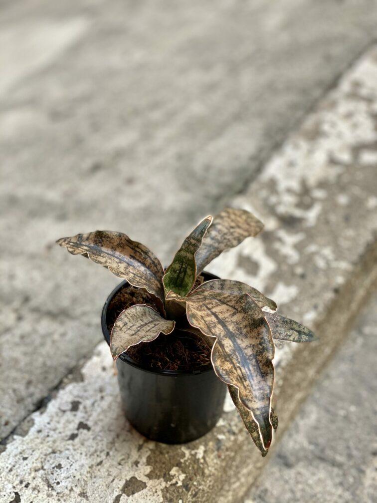 Zdjęcie rośliny Sansevieria kirkii Coppertone, ujęcie 3