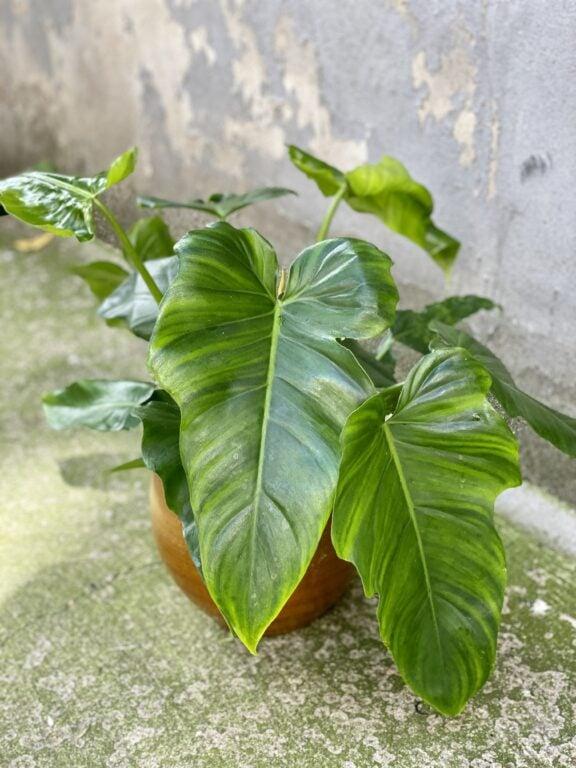 Zdjęcie rośliny Philodendron Lime Fiddle, ujęcie 1