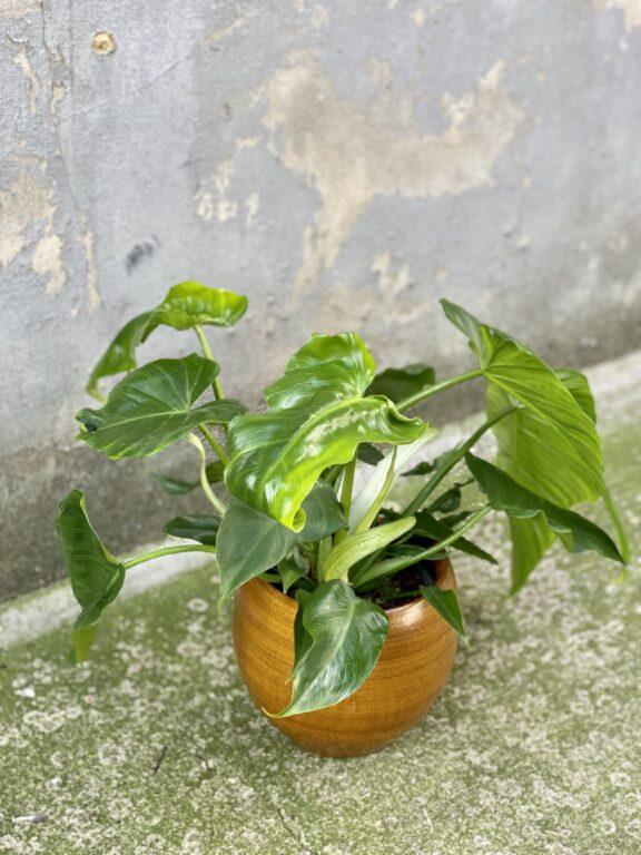 Zdjęcie rośliny Philodendron Lime Fiddle, ujęcie 2