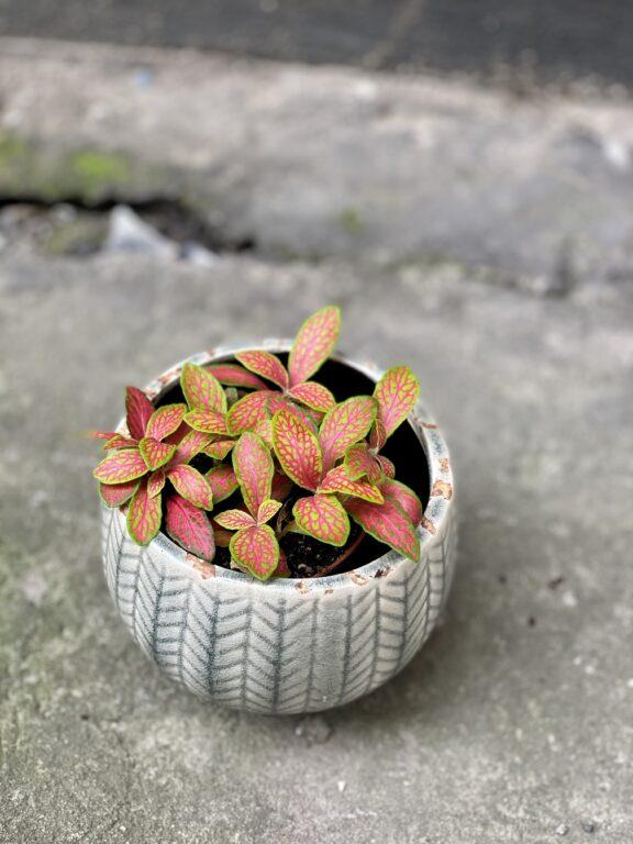 Zdjęcie rośliny Fittonia albivenis Skeleton, ujęcie 1