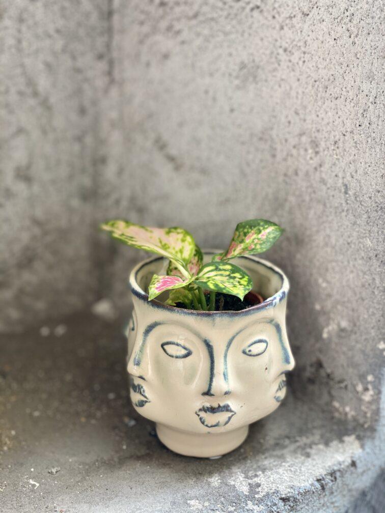 Zdjęcie rośliny Aglaonema Red Valentine, ujęcie 1
