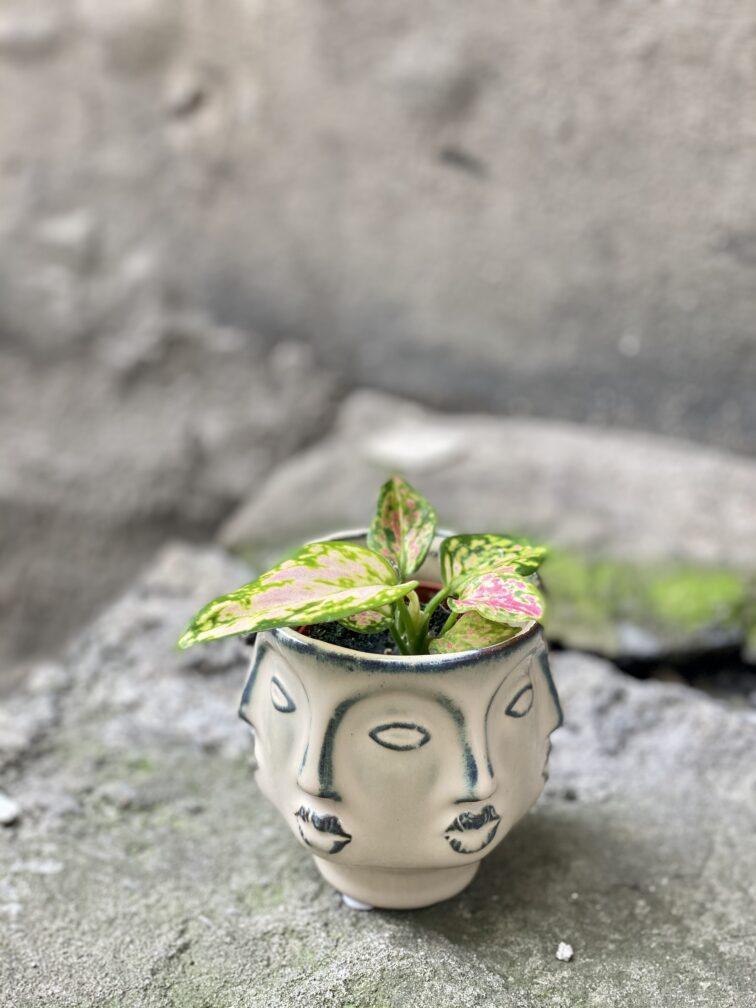 Zdjęcie rośliny Aglaonema Red Valentine, ujęcie 3