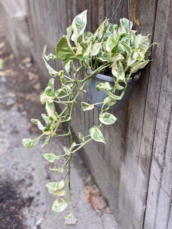 Zdjęcie rośliny Epipremnum Njoy, ujęcie 1