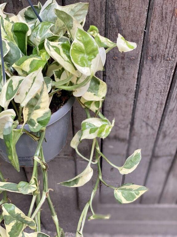 Zdjęcie rośliny Epipremnum Njoy, ujęcie 2