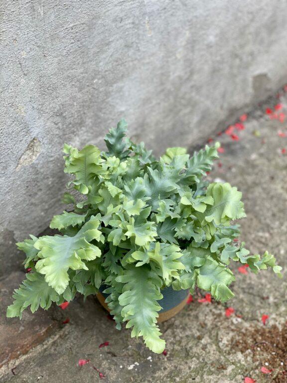 Zdjęcie rośliny Phlebodium aureum Davana, ujęcie 1