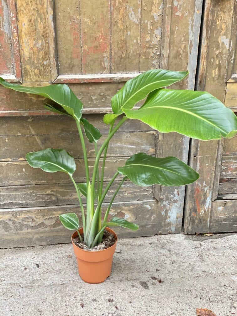 Zdjęcie rośliny Strelitzia Nicolai, ujęcie 1
