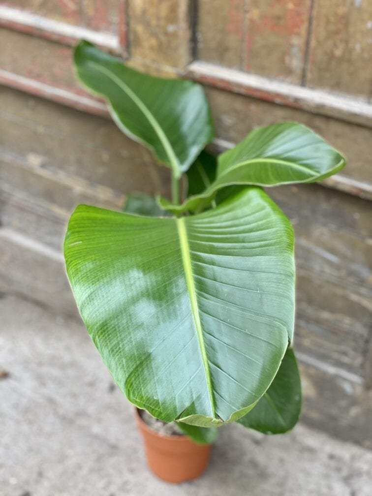 Zdjęcie rośliny Strelitzia Nicolai, ujęcie 2