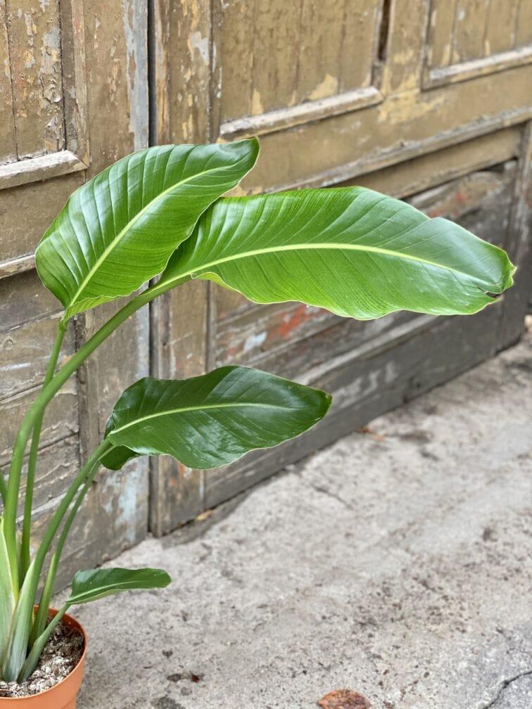 Zdjęcie rośliny Strelitzia Nicolai, ujęcie 3
