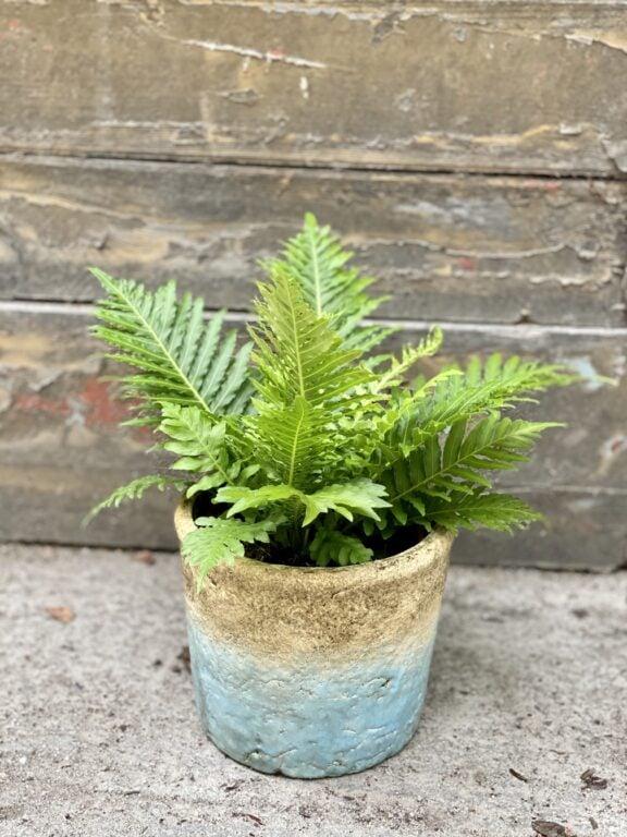 Zdjęcie rośliny Blechnum gibbum Silver Lady, ujęcie 1