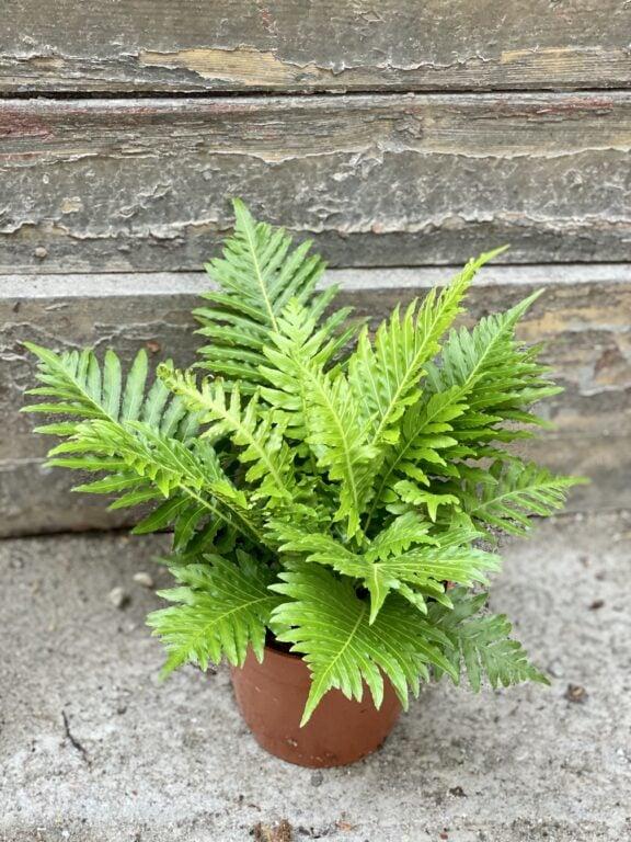 Zdjęcie rośliny Blechnum gibbum Silver Lady, ujęcie 2