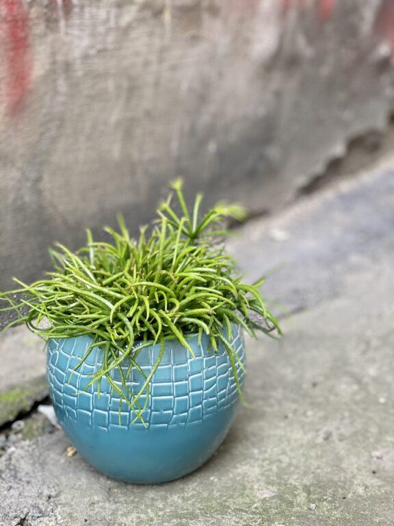 Zdjęcie rośliny Rhipsalis cassutha Cassera (Patyczak), ujęcie 1