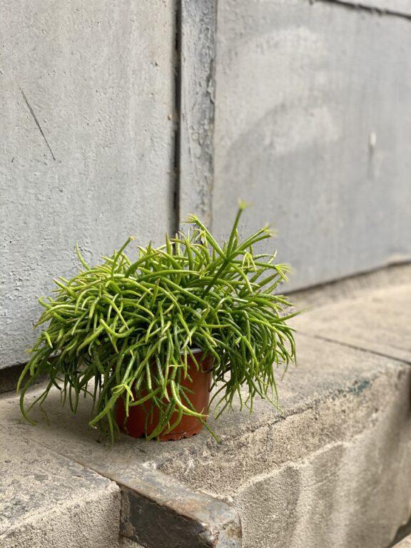 Zdjęcie rośliny Rhipsalis cassutha Cassera (Patyczak), ujęcie 2