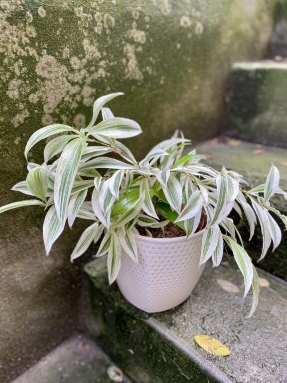 Zdjęcie rośliny Dracaena surculosa Golden Dragon, ujęcie 1