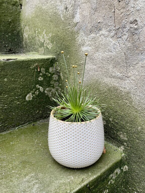 Zdjęcie rośliny Mikado Syngonanthus, ujęcie 1