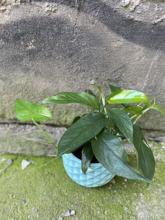 Zdjęcie rośliny Epipremnum Pinnatum, ujęcie 1
