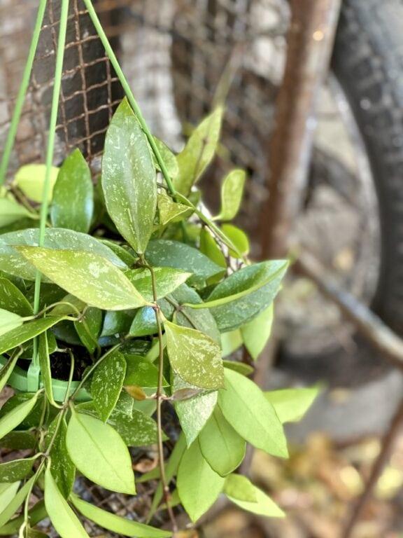 Zdjęcie rośliny Hoya Memoria Gracilis, ujęcie 2