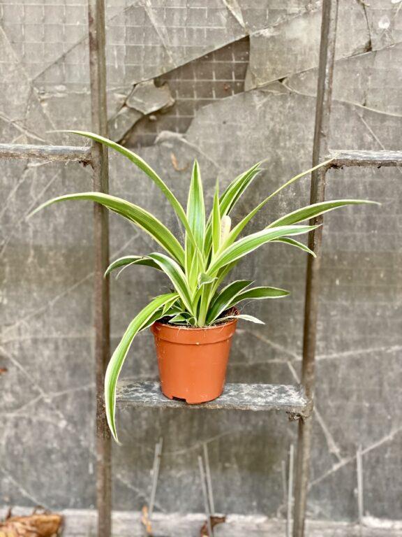 Zdjęcie rośliny Chlorophytum comosum Ocean (Zielistka), ujęcie 2