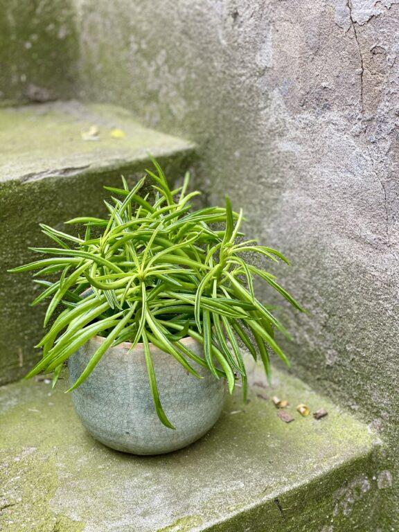 Zdjęcie rośliny Peperomia Nevada, ujęcie 2