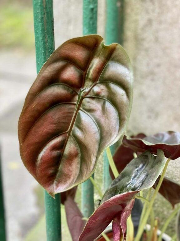 Zdjęcie rośliny Alocasia Red Secret, ujęcie 1