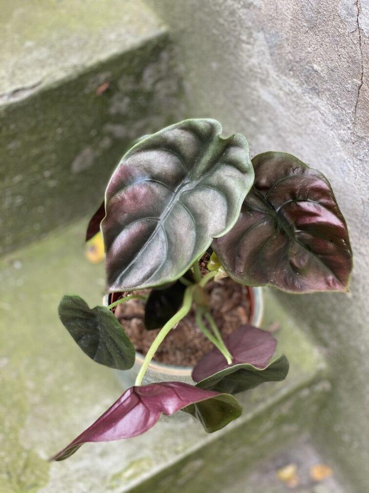 Zdjęcie rośliny Alocasia Red Secret, ujęcie 3
