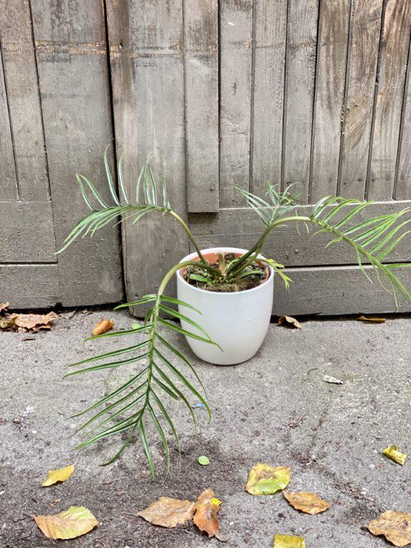 Zdjęcie rośliny Philodendron Tortum, ujęcie 1