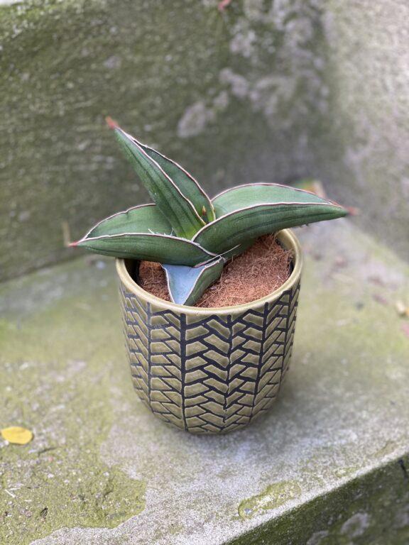 Zdjęcie rośliny Sansevieria Samurai, ujęcie 1
