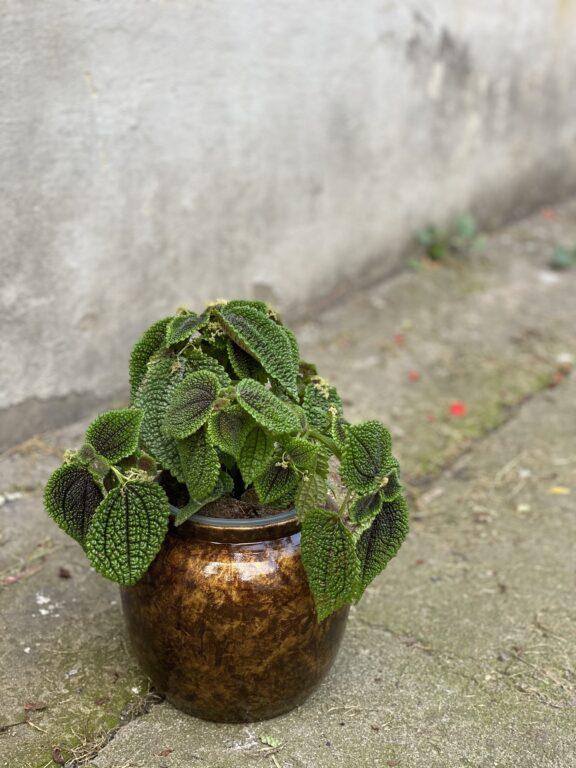 Zdjęcie rośliny Pilea Moonvalley, ujęcie 1