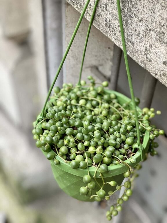 Zdjęcie rośliny Senecio rowleyanus (Starzec Rowleya), ujęcie 1