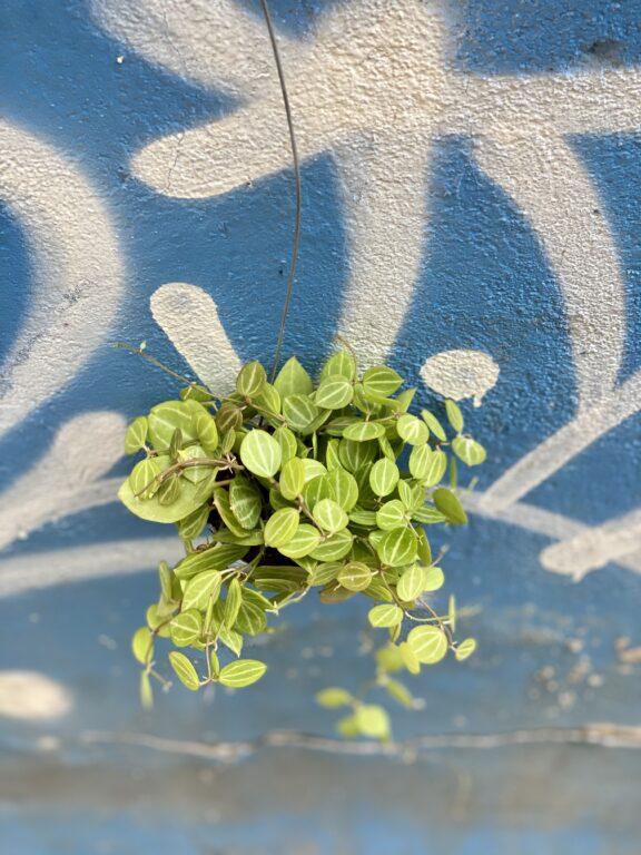 Zdjęcie rośliny Dischidia ovata, ujęcie 2