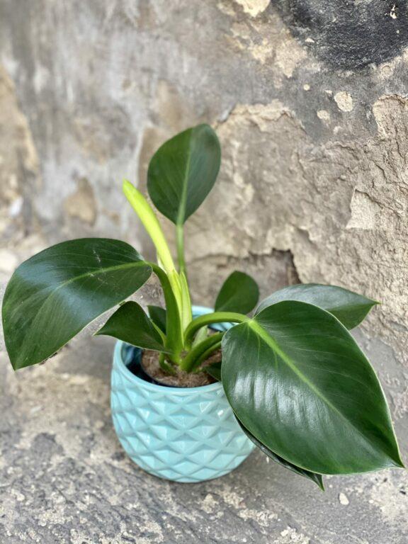 Zdjęcie rośliny Philodendron Green Princess, ujęcie 1