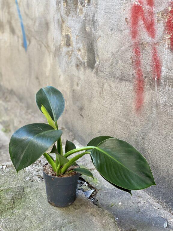 Zdjęcie rośliny Philodendron Green Princess, ujęcie 2