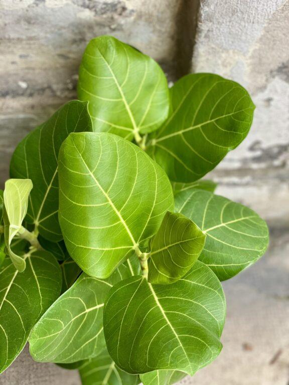 Zdjęcie rośliny Ficus benghalensis Audrey Yellow (Fikus bengalski), ujęcie 2