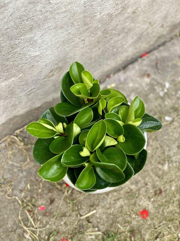 Zdjęcie rośliny Peperomia obtusifolia Red Canyon, ujęcie 1