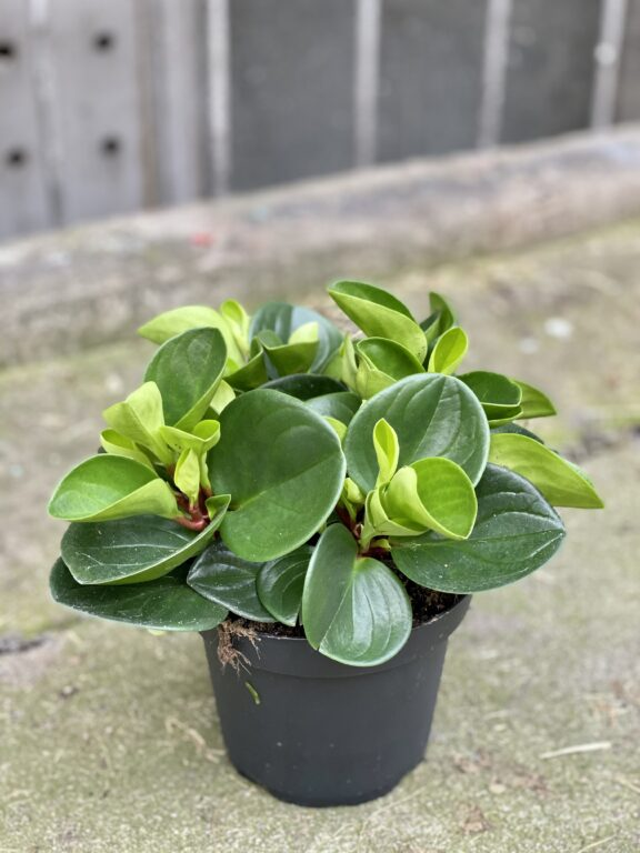 Zdjęcie rośliny Peperomia obtusifolia Red Canyon, ujęcie 2