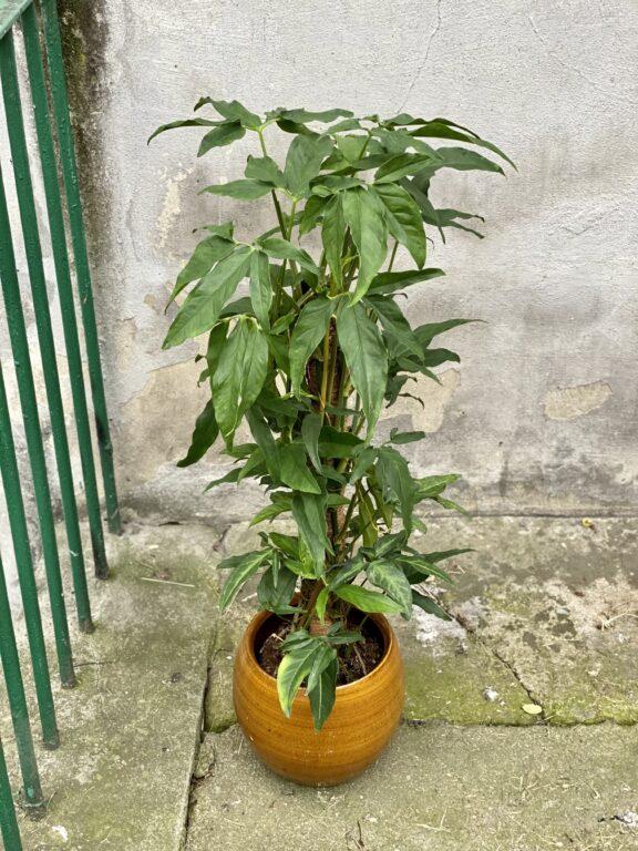 Zdjęcie rośliny Syngonium angustatum, ujęcie 1