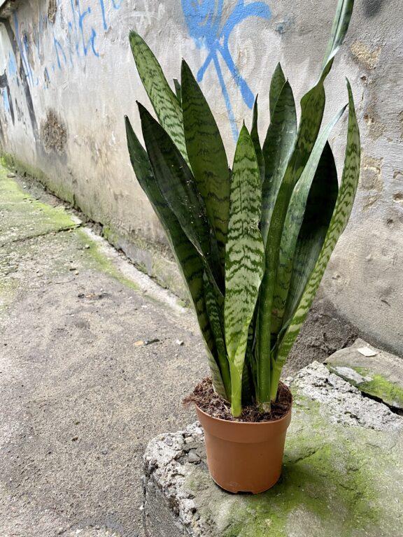 Zdjęcie rośliny Sansevieria Zeylanica, ujęcie 2