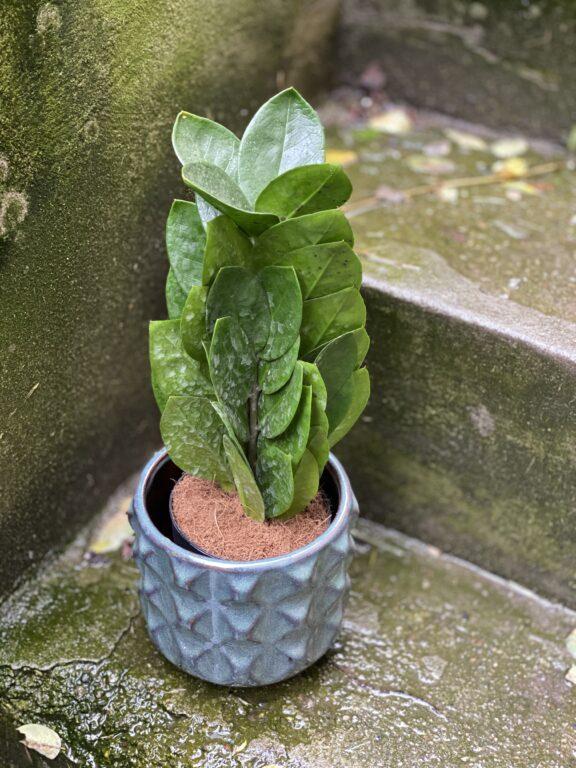 Zdjęcie rośliny Zamioculcas Supreme, ujęcie 1