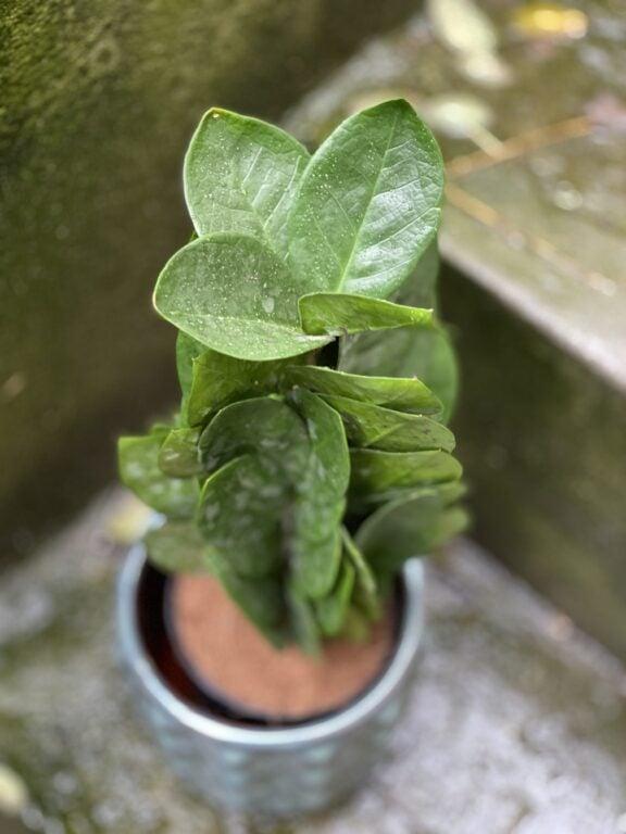 Zdjęcie rośliny Zamioculcas Supreme, ujęcie 2