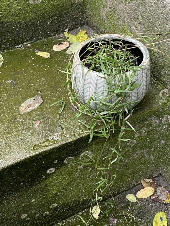 Zdjęcie rośliny Ceropegia Woodi String of Needles, ujęcie 1