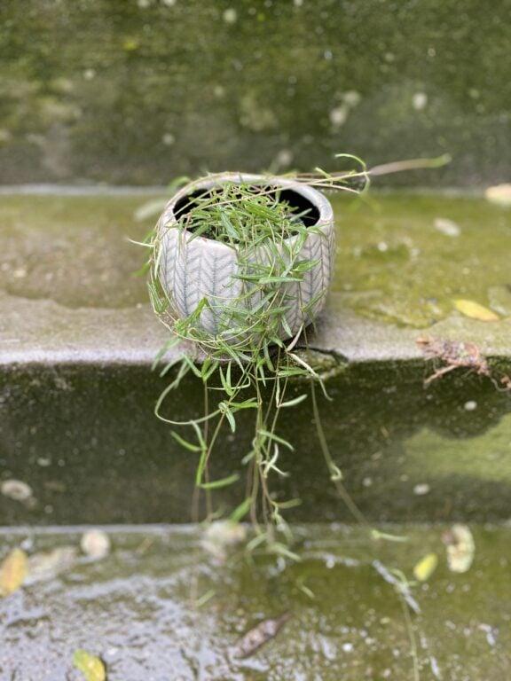 Zdjęcie rośliny Ceropegia Woodi String of Needles, ujęcie 2