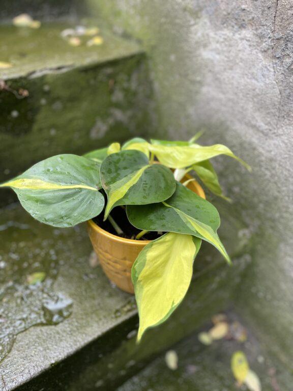 Zdjęcie rośliny Philodendron Brasil, ujęcie 1