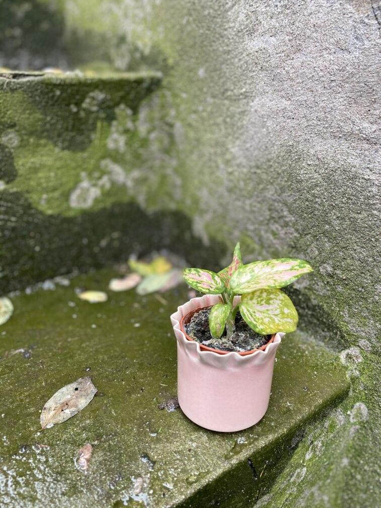 Zdjęcie doniczki lub oslonki: Osłonka Pale Pink 5x6 cm, ujęcie 3