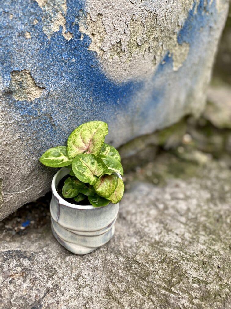 Zdjęcie rośliny Syngonium Berry Allusion, ujęcie 1