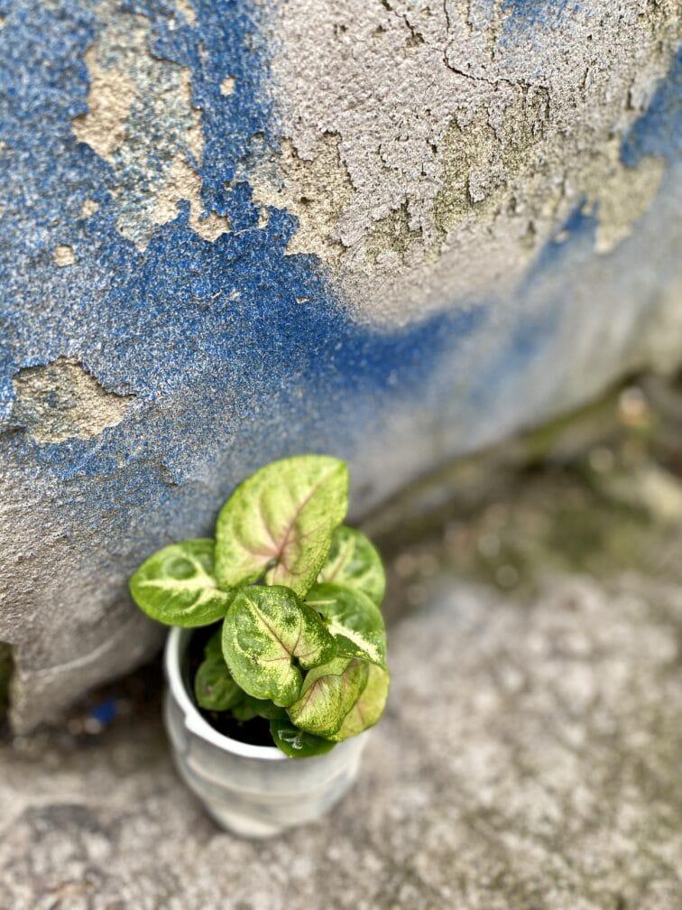 Zdjęcie rośliny Syngonium Berry Allusion, ujęcie 3