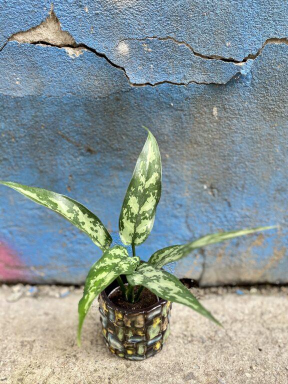 Zdjęcie rośliny Aglaonema Cutlass, ujęcie 1