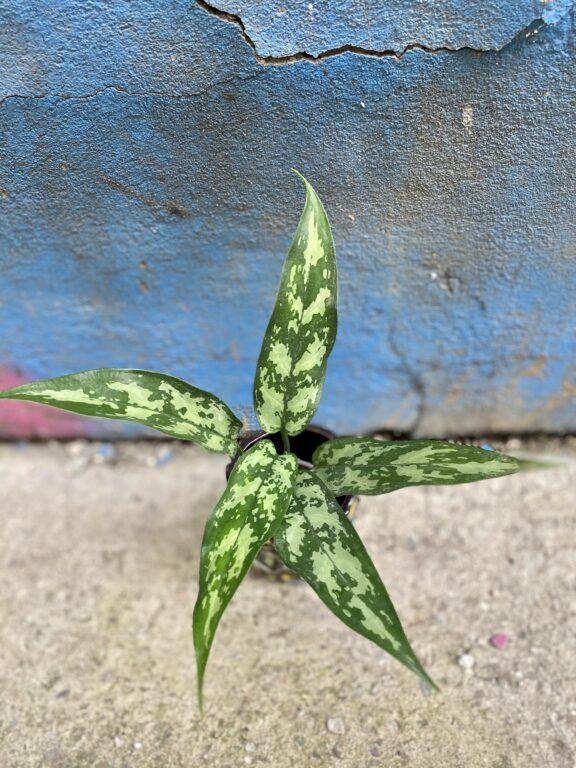 Zdjęcie rośliny Aglaonema Cutlass, ujęcie 2
