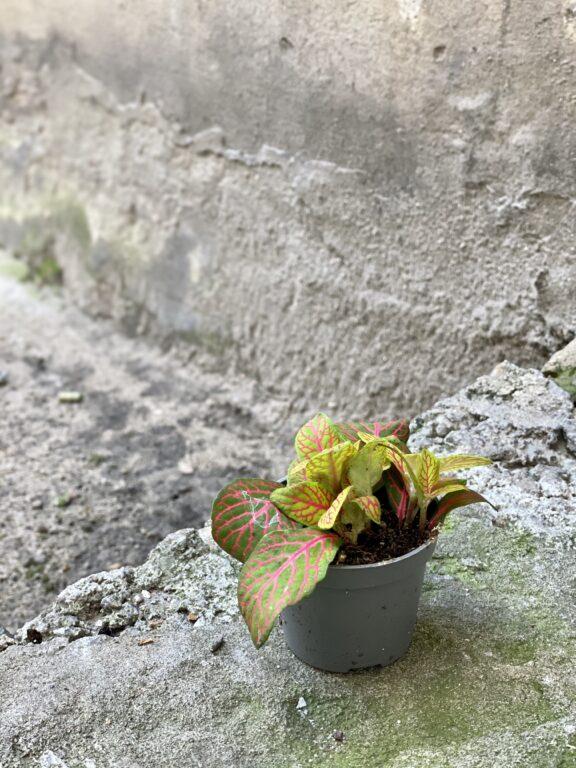 Zdjęcie rośliny Fittonia albivenis Skeleton, ujęcie 2