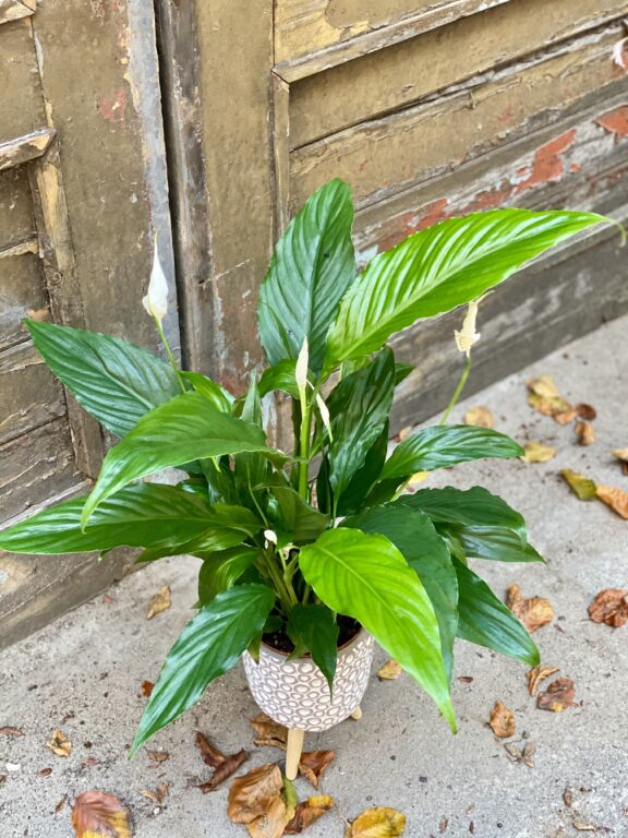 Zdjęcie rośliny Spathiphyllum Sweet Chico ( skrzydłokwiat), ujęcie 1