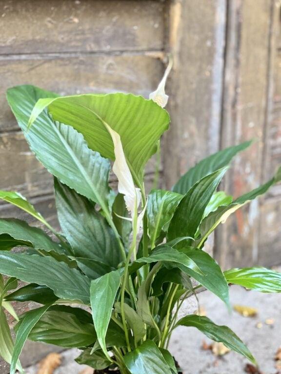 Zdjęcie rośliny Spathiphyllum Sweet Chico ( skrzydłokwiat), ujęcie 2